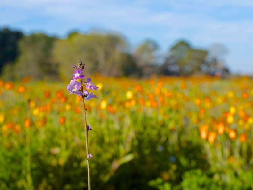 Wildflower field, Hilton Head Island